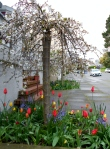 Cherry Tree & Tulips on Buena Vista